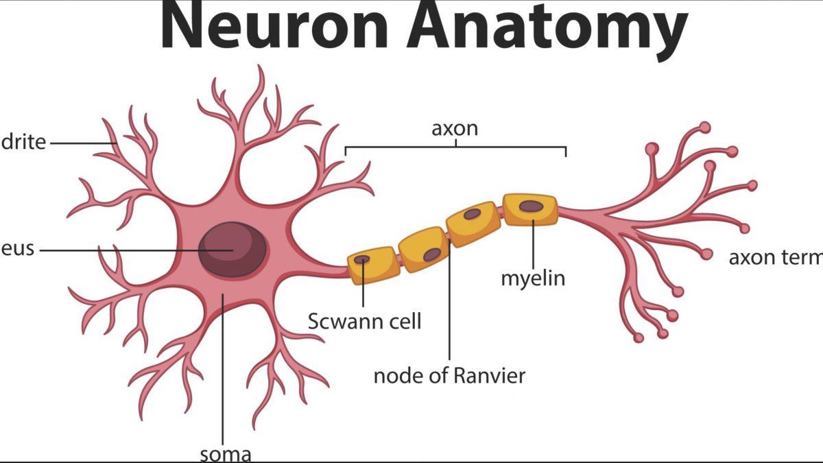 nerve insulation
